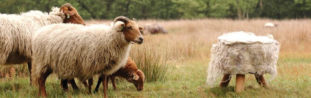 schapen scheren, wolfeest, festival, balloo, drenthe